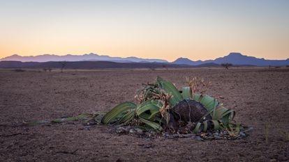 A welwitschia in the Namib Desert, Namibia.