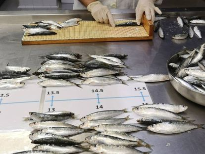 Sardines are measured as part of the study led by Marta Coll.