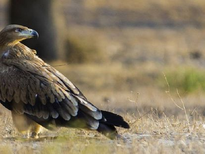 An Iberian imperial eagle.