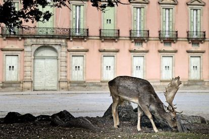 A fallow deer feeds in the grounds of the Riofrío Palace, in Segovia.