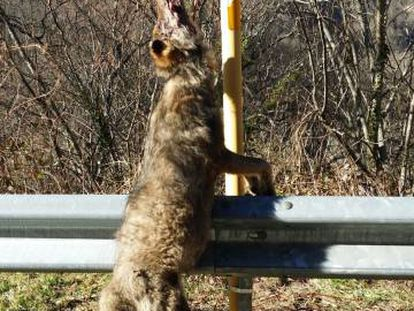 The wolf found in the Teverga municipality of Asturias.