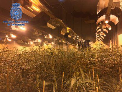 Image of a marijuana plantation run by a Chinese mafia group.