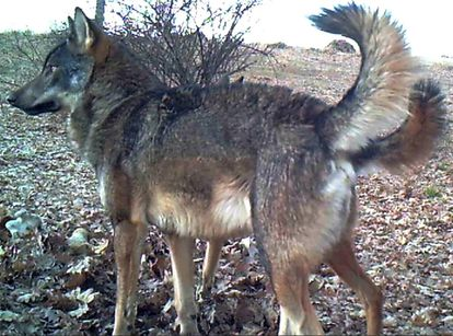 A wolf in the Madrid region.