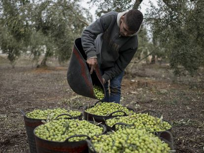 A worker collects olives in Seville.