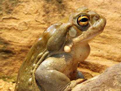 DMT can be extracted from the 'Bufo alvarius' toad.