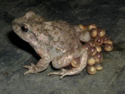 An estimated 1,000 common midwife toads live in Pamplona's Ciudadela.