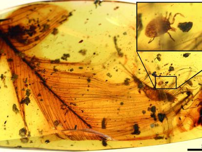 The feather fossilized in the amber and, above, a close up of the tick.