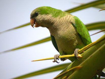 A monk parakeet (Myiopsitta monachus).