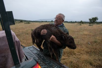 Alberto Herranz carries a sick bison calf afflicted by ticks at his estate in Cubillo (Segovia).