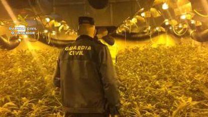 A marijuana plantation raided by the Civil Guard.