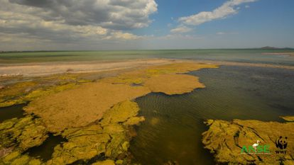 Algae covering parts of the Mar Menor.