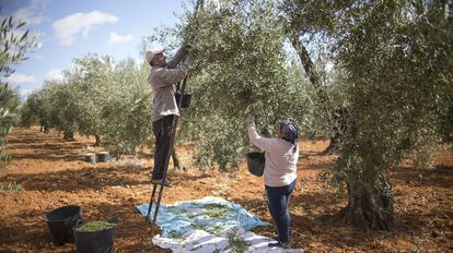 Day laborers pick olives in Seville.