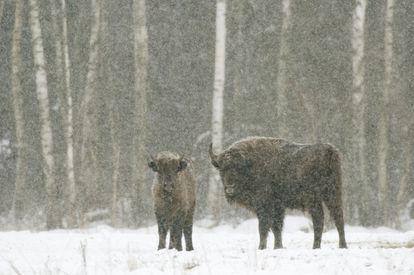 Una hembra de bisonte europeo con un ternero, en un campo cubierto de nieve en el Parque Nacional de Bialowieza en Polonia.