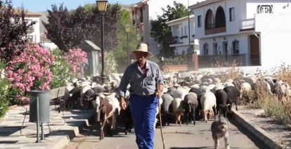 A shepherd from Zafarraya guides his flock through the streets
