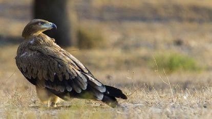 An Iberian imperial eagle.