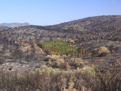 Cypress trees emerged almost untouched after a forest fire in Andilla, Valencia.