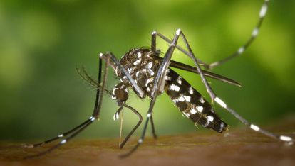 Unlike 'Aedes japonicus,' the Asian tiger mosquito has distinctive stripes.