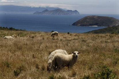 Sheep grazing on Ons, part of the Atlantic Isles National Park.