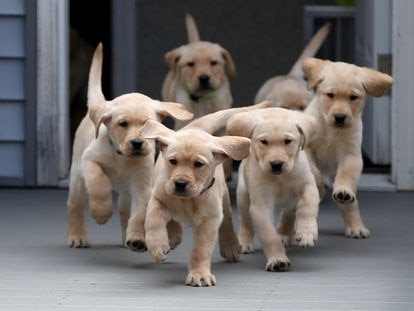 Two-month-old Golden Retriever puppies.