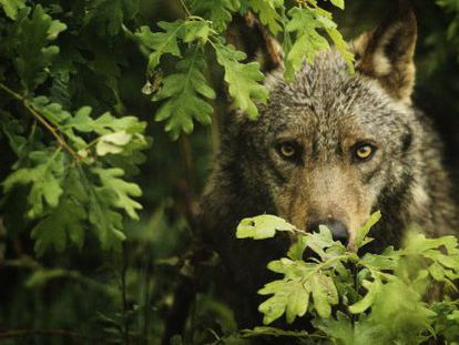 The Iberian wolf is a species that can be hunted north of the River Duero, but is completely protected to the south.