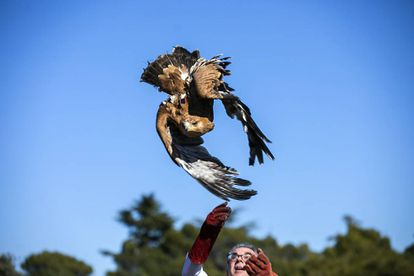 Madrid environment chief Carlos izquierdo releases an imperial eagle in Galapagar.