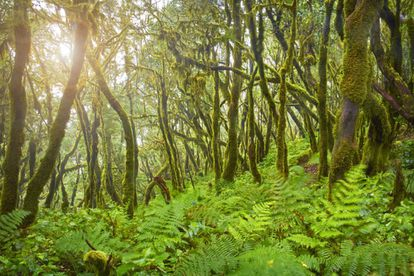 Thanks to its geographic location and subtropical climate, the center of La Gomera island preserves an extraordinary jungle site, featuring an abundance of protected species. The forest at Garajonay National Park presents visitors with an image of the earth as it was 60 million years ago.